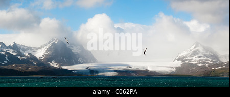 Albatros hurleur survolant la Bay of Isles avec plaine de Salisbury glacier dans l'arrière-plan. La Géorgie du Sud, Banque D'Images