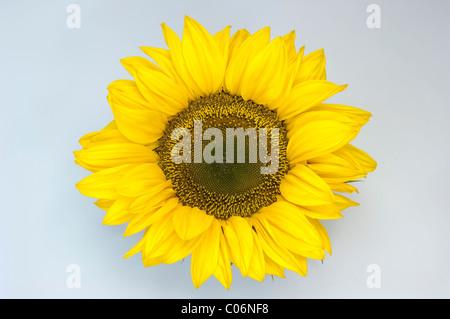 Tournesol (Helianthus annuus). Tête de fleur. Studio photo sur un fond blanc. Banque D'Images