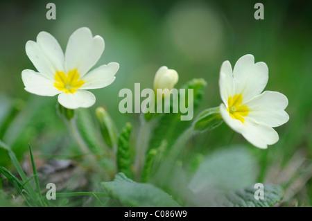 Primevère commune primevère (Primula Anglais ou vulgaris)