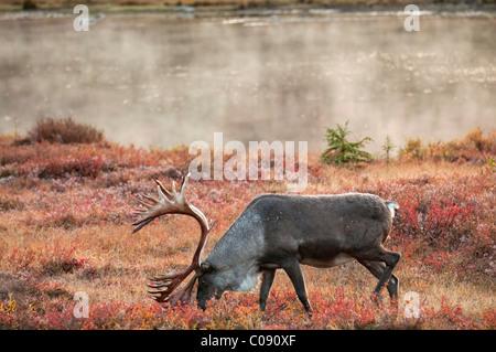 Caribou mâle parcourt au milieu de la toundra d'automne sur le côté nord de Wonder Lake dans le Parc National Denali et préserver, de l'Alaska