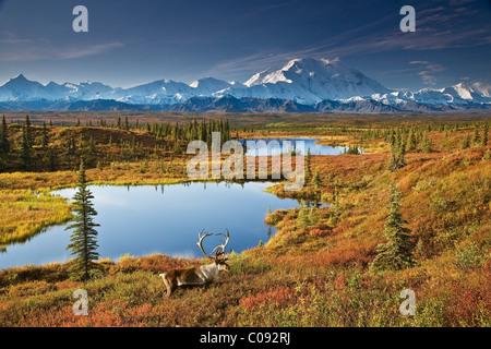 Caribou mâle et d'étangs de toundra avec Mt. McKinley dans l'arrière-plan, le parc national Denali, en Alaska COMPOSITE