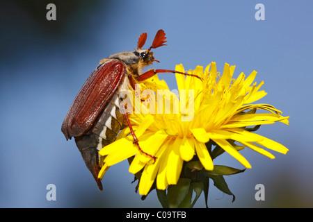 Catégorie: asiatique ou européenne peut beetle (Melolontha melolontha) sur une fleur de pissenlit (Taraxacum officinale)