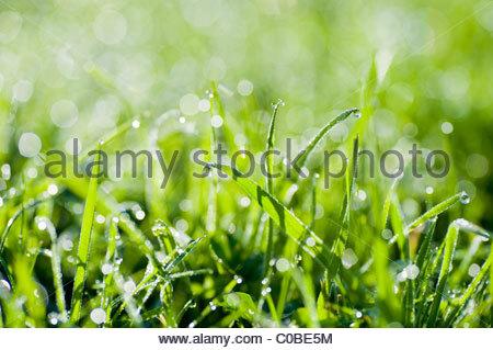 Close up de gouttes de rosée sur l'herbe. Banque D'Images