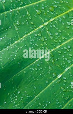 Gouttes de pluie sur feuille de taro; Hana Coast, Maui, Hawaii. Banque D'Images