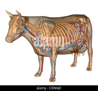 Anatomie de la vache respiratoire circulairement Banque D'Images