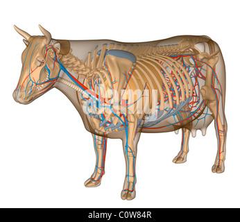 Anatomie de la vache respiratoire circulary Banque D'Images