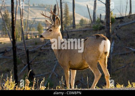 Homme Le Cerf mulet (Odocoileus hemionus), le Parc National de Yellowstone