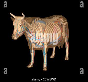 Anatomie de la vache d'organes Banque D'Images