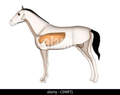 L'anatomie du cheval poumons respiratoire Banque D'Images