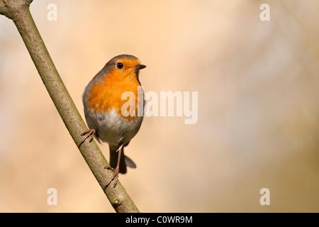 European Robin (Erithacus rubecula aux abords) des profils perché sur Branch, au Royaume-Uni. Banque D'Images