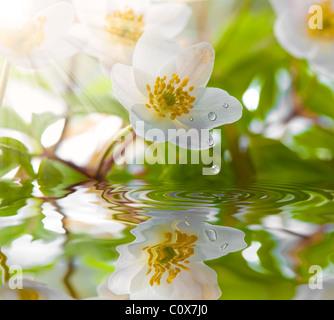 Anémone blanche dans l'eau avec de l'eau chute et sun Banque D'Images