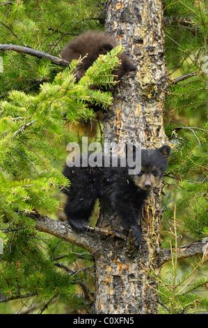 Le noir et la cannelle-phase Oursons jouant dans un arbre