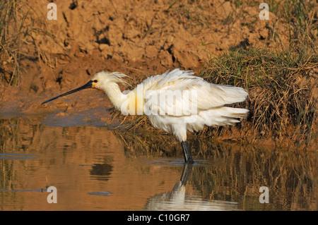 Spatule blanche Spatule blanche ou conjoint (Platalea leucorodia) secouer ses plumes Banque D'Images
