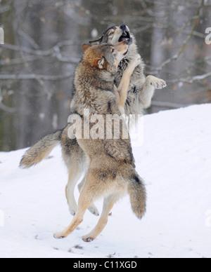 La lutte contre les loups à propos de hiérarchie, Loup du Mackenzie, toundra de l'Alaska Wolf ou canadien Timber Banque D'Images