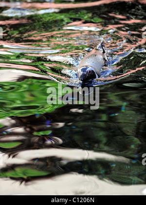 Spheniscus humboldti. Le pingouin flotte dans l'eau. Reflets multicolores. Banque D'Images