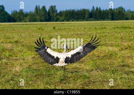 Cigogne Blanche (Ciconia ciconia), atterrissage lac Peipus, jaerv Peipsi, l'Estonie, pays Baltes, nord-est de l'Europe Banque D'Images