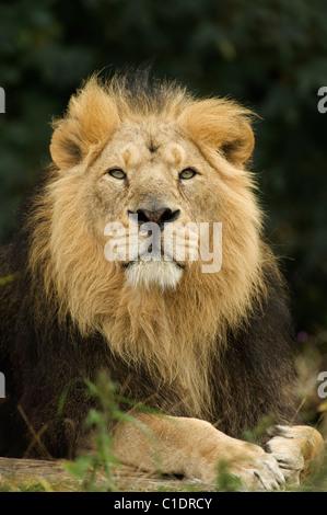 Lion d'Asie (Panthera leo persica) de l'Inde. Prisonnier Banque D'Images
