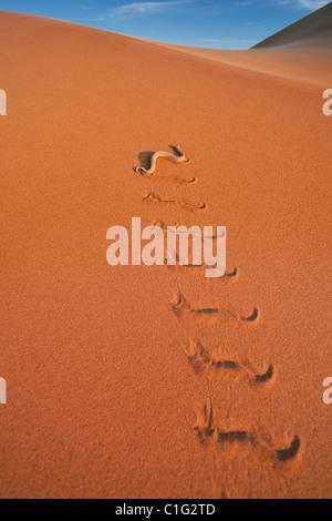 L'additionneur Sidewinder (Bitis peringueyi) est une espèce de vipère venimeuse dans le désert du Namib