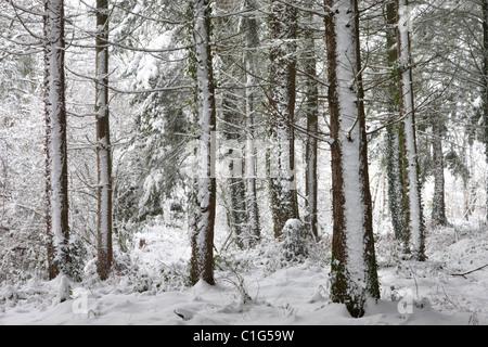 Bois d'hiver couvert de neige, scène Morchard évêque, Devon, Angleterre. Hiver (décembre) 2010. Banque D'Images
