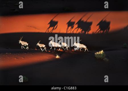 Gemsbok (Oryx gazella) dans désert typique de l'habitat. 16ème arr. sud-ouest de l'Afrique de l'Est et du Nord. Banque D'Images