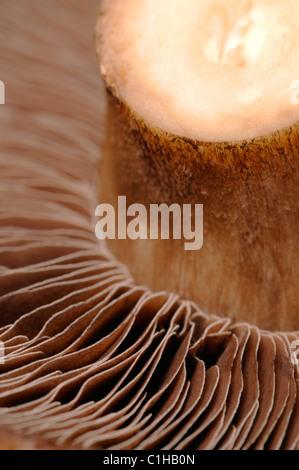 Champignon - grand champ dessous montrant les spores Banque D'Images