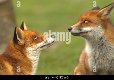 Paire de renards roux Vulpes vulpes Banque D'Images