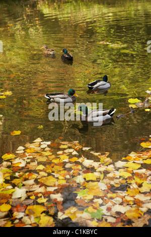 Le colvert sur le lac en automne, Stourhead, Wiltshire, Angleterre Banque D'Images
