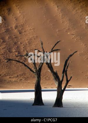 Deux camel thorn arbres ensemble à Sossusvlei, pan de sel du désert du Namib. Vu derrière est une grande dune de sable brun-rouge.