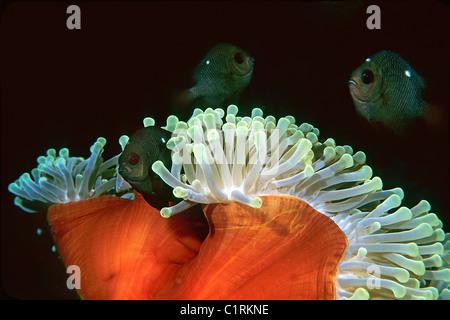 Dascyll (Dascyllus trimaculatus, mer Rouge, Egipt Banque D'Images