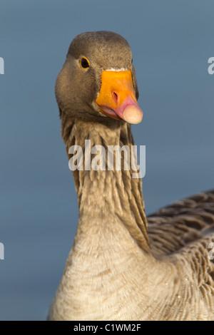 Gray Goose Lag. Ariser anser (Anatidae) Tête Close-up