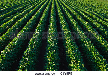 Un livre vert, mi-croissance champ de soya en été dans le centre de l'Iowa. USA. Banque D'Images