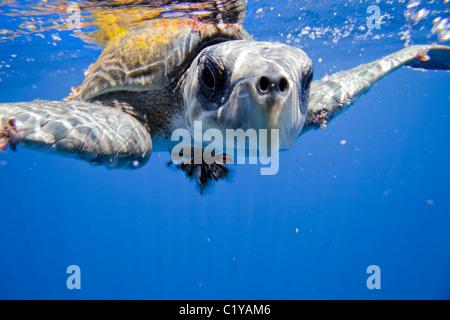 Une vue rapprochée d'une rare tortue à l'île Cocos au large de la côte du Costa Rica. Banque D'Images