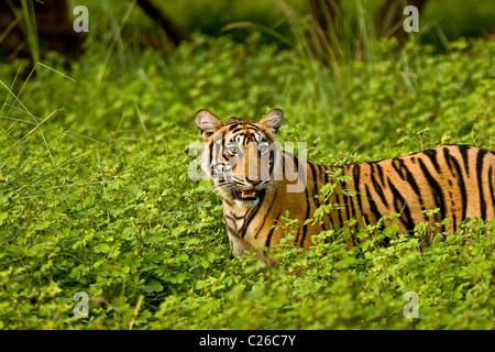 Tiger dans les buissons verts de Ranthambhore après les pluies de mousson Banque D'Images