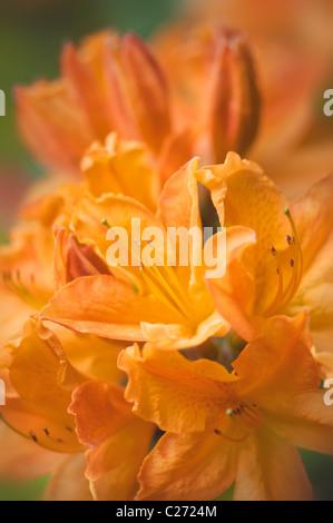 Image en gros plan de l'orange dynamique Rhododendron calendulaceum _ La Flamme Orange Azalea Banque D'Images