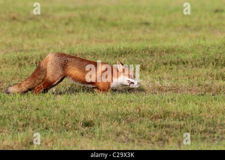 Fox avec souris