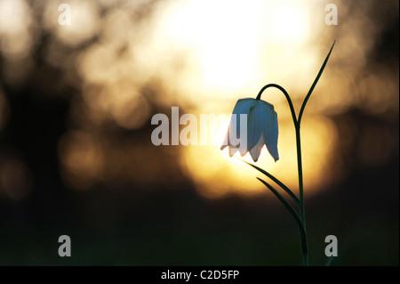 Fritillaria meleagris. Tête de serpents fritillary wildflower dans la campagne anglaise au lever du soleil. Amérique du pré. Cricklade, Wiltshire, Royaume-Uni. Silhouette