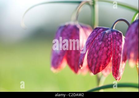 Fritillaria meleagris. Tête de serpents fritillary fleurs sauvages dans la campagne anglaise. Au nord, l'Angleterre de Cricklade, Meadow