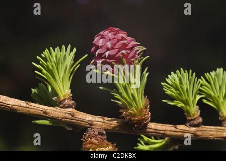 Les fleurs femelles et les nouvelles feuilles de l'arborescence de mélèze (Larix decidua)
