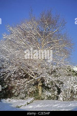 Silver Birch Tree ( Betula pendula ) dans la neige en hiver, UK