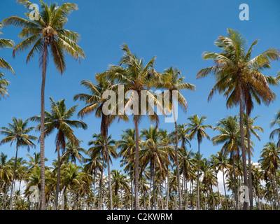Palmiers sur l'île de Boipeba, Etat de Bahia Brésil Banque D'Images