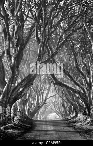 L'obscurité des haies, Armoy,. L'Irlande du Nord. Banque D'Images