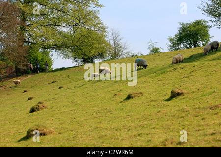 Des moutons paissant sur une colline champ agricole pendant la saison d'agnelage Banque D'Images