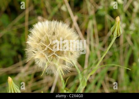 La chèvre-barbe, Tragopogon pratensis seed head Banque D'Images