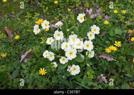 Le printemps et l'été fleurs des haies moindre chélidoine, primevères, Primula vulgaris, Salade de pissenlits, Burdet à Cornwall