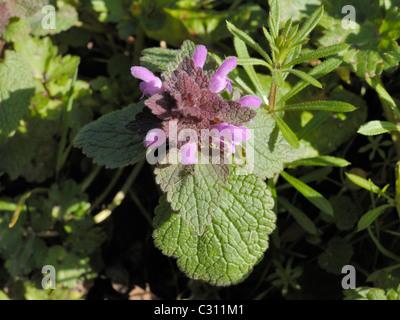 Red Dead-nettle, lamium purpureum