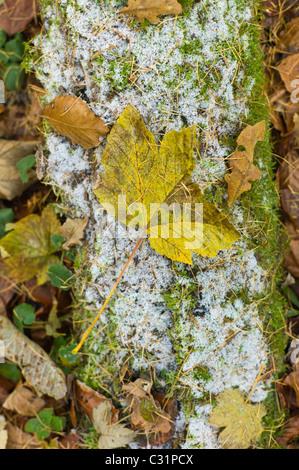 Sycomore, chêne et hêtre feuilles sur le sol glacial, les Cotswolds, Royaume-Uni