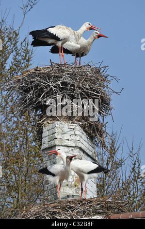 Cigogne Blanche (Ciconia ciconia) deux paires de loi-claquement sur leur nid - Printemps - Belgique Banque D'Images