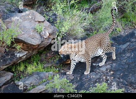 Leopard, la Namibie, l'Afrique Banque D'Images