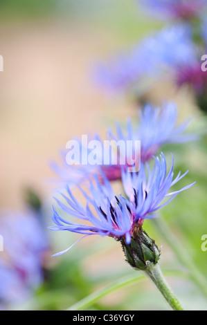 Centaurea montana. Bleuet vivace, la montagne, la centaurée bluet, centaurée de montagne Banque D'Images