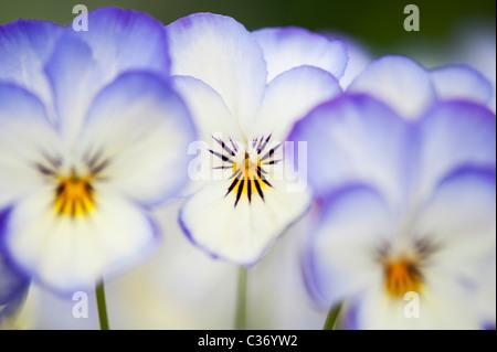 Viola 'coconut Sorbet fleurs swirl' Banque D'Images